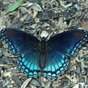 Red Spotted Purple Swallowtail Butterfly Art Print