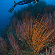 Red Whip Fan Coral With Diver, Papua Art Print