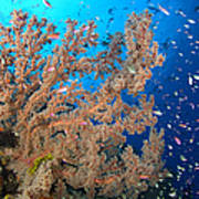 Reef Scene With Sea Fan, Papua New Art Print