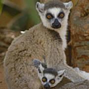 Ring-tailed Lemur Lemur Catta Mother Art Print
