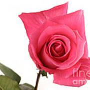 Rose Blooming Art Print