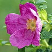 Salt Spray Rose Flower (rosa Rugosa) Art Print