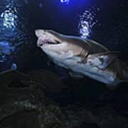 Sand Tiger Shark, Blue Zoo Aquarium Art Print