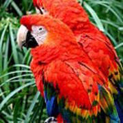 Scalet Macaw Art Print