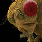 Sem Of A Mutant Fruit Fly Art Print