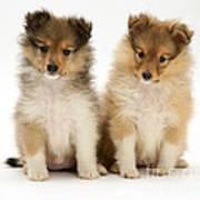 Sheltie Puppies Art Print by Jane Burton