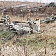Short Eared Owl In Flight Art Print