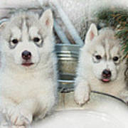 Siberian Husky Puppies Art Print