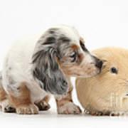 Silver Double Dapple Dachshund Pup Art Print
