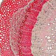 Silver Wattle Stem Art Print