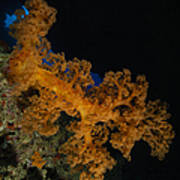 Soft Coral Seascape, Fiji Art Print