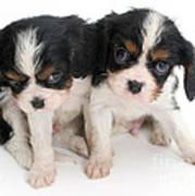 Spaniel Puppies Art Print