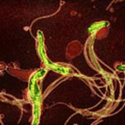 Spirochete Bacteria, Tem Art Print