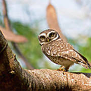 Spotted Owlet Art Print