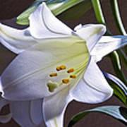 Spring Lily Art Print