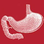 Stomach Anatomy Art Print