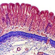 Stomach Lining, Light Micrograph Art Print
