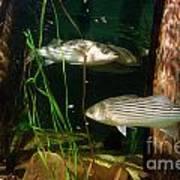 Striped Bass In Aquarium Tank On Cape Cod Art Print