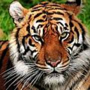 Sumatran Tiger Portrait Art Print