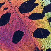 Sunset Moth Urania Ripheus Art Print