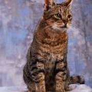 Tabby Cat Portrait Of A Cat Art Print