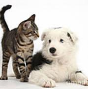 Tabby Kitten & Border Collie Art Print