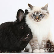 Tabby-point Birman Cat And Black Rabbit Art Print