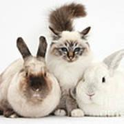 Tabby-point Birman Cat And Rabbits Art Print