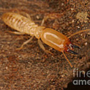 Termite Print by Ted Kinsman