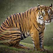The Sumatran Tiger  Art Print