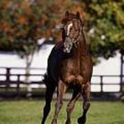 Thoroughbred Horse, Ireland Art Print