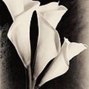 Three Calla Lilies Art Print by Lisa  Spencer