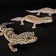 Three Female Leopard Geckos Eublepharis Art Print