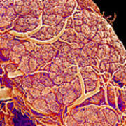 Thyroid Gland Blood Vessels, Sem Art Print