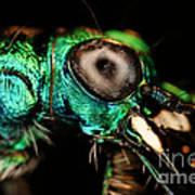 Tiger Beetle Art Print