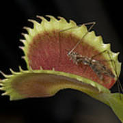 Venus Flytraps As They Consume Insects Art Print by Joel Sartore
