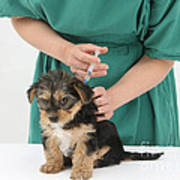 Vet Giving Pup Its Primary Vaccination Art Print