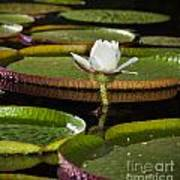 Water Lily Art Print by Johan Larson