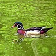 Water Wood Duck Art Print