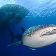 Whale Shark Feeding Under Fishing Art Print