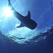 Whale Shark Near Surface With Sun Rays Art Print