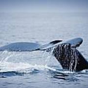 Whales Fluke Art Print