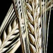 Wheat Ears (triticum Sp.) Art Print