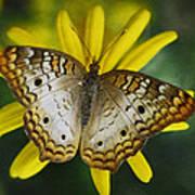 White Peacock Butterfly  Art Print