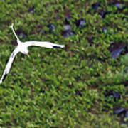 White-tailed Tropicbird Art Print