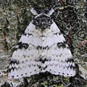 White Underwing Moth Art Print