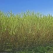 Willow Bioenergy Crop, Sweden Art Print