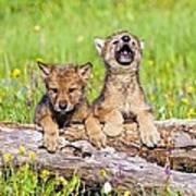 Wolf Cubs On Log Art Print