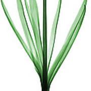 X-ray Of Hyacinth Art Print