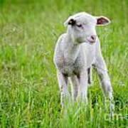 Young Sheep Art Print